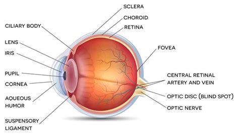 diagram of cornea diagram of cornea wiring diagram