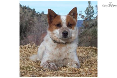 blue heeler puppies for sale in ga blue and heeler puppies for sale