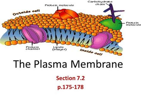 Section 7 2 The Plasma Membrane by Unit Cellular Structure Function All Cells A Cell Membrane That Separates The Cell From
