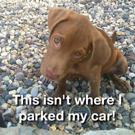Pitbull Puppy Meme - 10 best images about dogs memes on pinterest lol funny