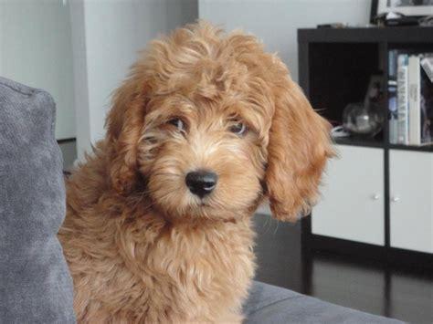 mini labradoodles kentucky best 25 goldendoodle ideas on teddy