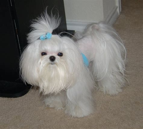 maltese haircut styles pictures maltese dog haircuts styles pictures