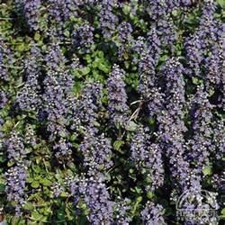 plant profile for ajuga genevensis carpet bugle perennial