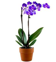 lavender orchid plant avas flowers