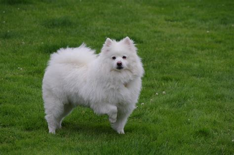 american best puppies american eskimo wallpapers hd
