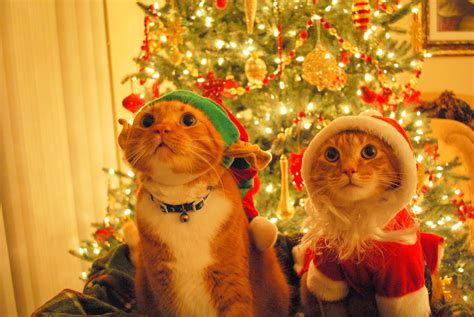 images of christmas cats funny cats christmas cats