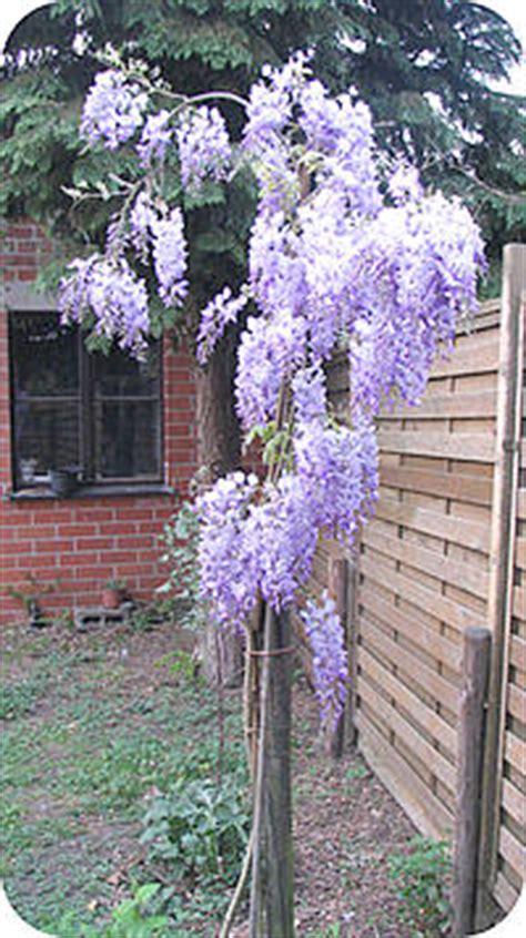 blauwe regen uitlopen blauwe regen of wisteria kies de juiste soorten wisteria