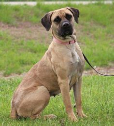 shelters in maryland 1000 images about boerboel rescue on adoption shelters and mastiff mix