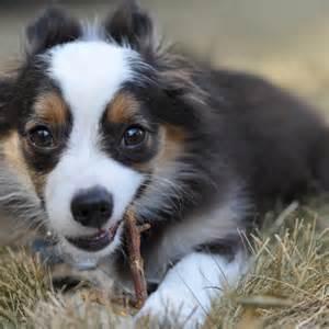 Mini australian shepherd puppies miniature australian shepherd