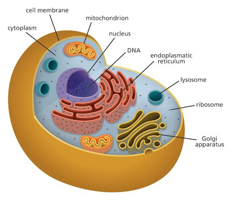 cell   cell human cell structure animal