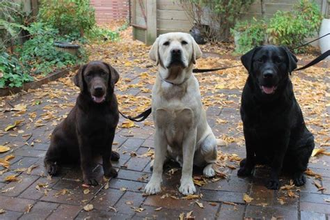 ptsd and service dogs a guide for sufferers lovely labs helping vets and responders with ptsd the riotact
