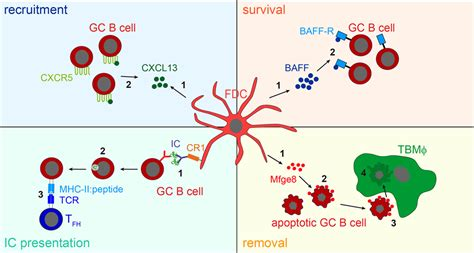 frontiers dendritic cells in the frontiers how follicular dendritic cells shape the b