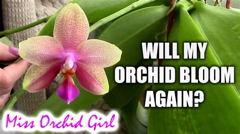 will my orchid bloom again when will my orchid bloom