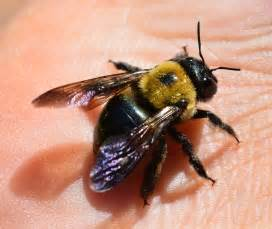 opinions on carpenter bee