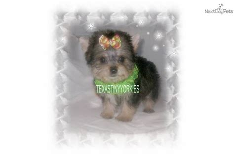 yorkie poo puppies for sale dallas tx akc yorkie puppies price 400 in nacogdoches breeds picture