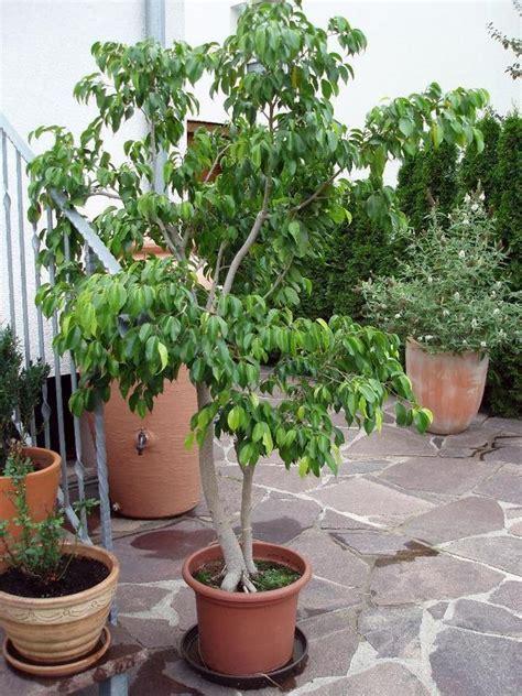 Garten Kaufen Fellbach by Ficus Benjamini Birkenfeige Ca 200 Cm Gro 223 Sch 246 Ner Wuchs