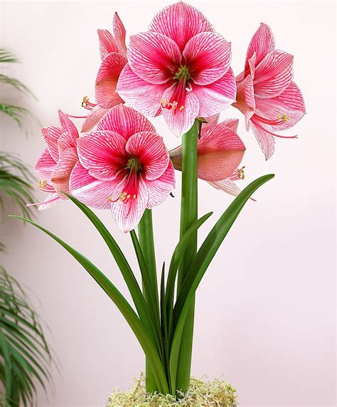 catalogo fiori bakker acquista amaryllis purple bakker