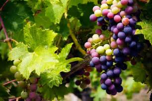 grape harvest info best time for picking grapes