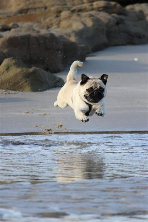 water pug 110 best images about pugs wall papers on