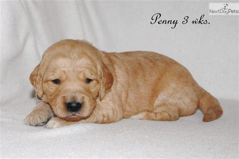 goldendoodle puppy idaho goldendoodle puppy for sale near boise idaho