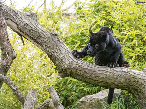 4 black tree black jaguar climbing a tree black panther images