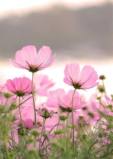 Flowers Pink best 25 pink flowers ideas on pretty flowers