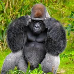 gorilla gorillas and sign language fun animals wiki videos