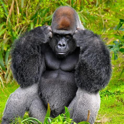 gorillas  sign language fun animals wiki