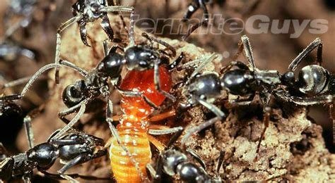 illusion  black ant protection  termites