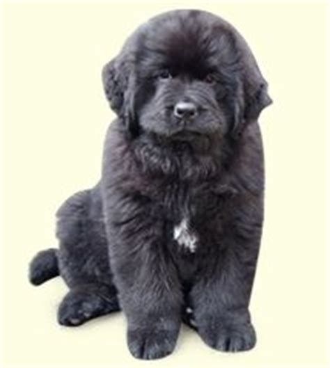 newfoundland puppies for sale in pa 1000 images about newfoundland pics on newfoundland puppies