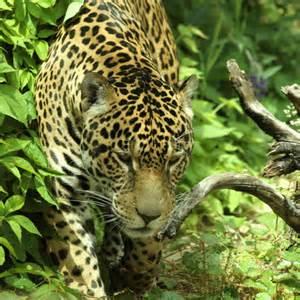 Jaguar Ecosystem Greatergood