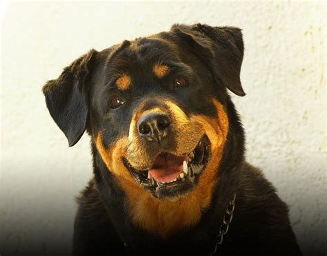 rottweiler direct breeds rottweiler temperament and personality dogalize