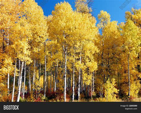 white birch trees fall image photo bigstock
