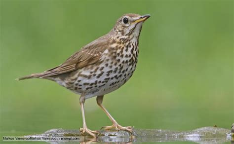 bbc nature song thrush videos news and facts