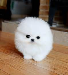 snowball pomeranian rescued pomeranians for adoption gorgeous and teacup pomeranian puppies