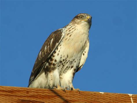 Center Of Light Ferruginous Hawk