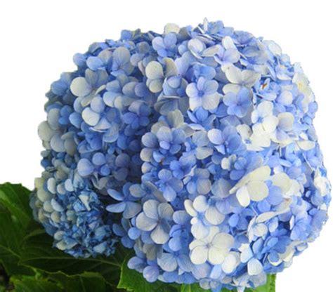 Tanaman Bunga Hortensia Blue Sky Bibit Bunga Hortensia Hydrangeae Blue Grosir Tanaman Hias