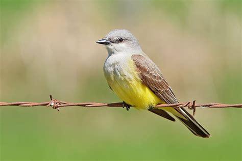 western kingbird birds of my backyard pinterest