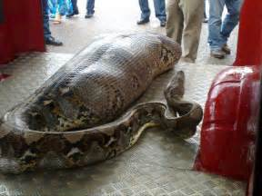 anaconda swallows drunk man liquor store