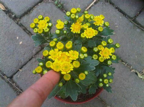jual tanaman krisan yellow angelina bibit