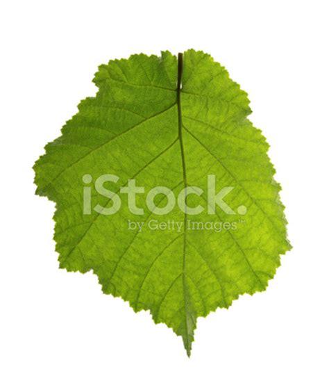 hazel leaf isolated on white stock photos freeimages.com
