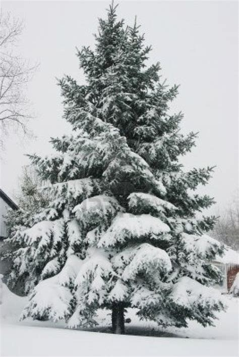 snow capped trees c snow capped evergreen tree inspiration and reference