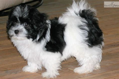 havanese puppies for sale near me havanese puppy for sale near atlanta 4a38273e 1fa1