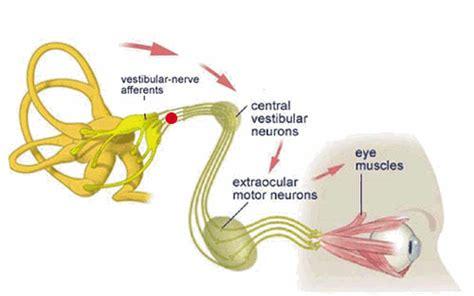 vestibulocochlear reflex motor functions of the vestibular system