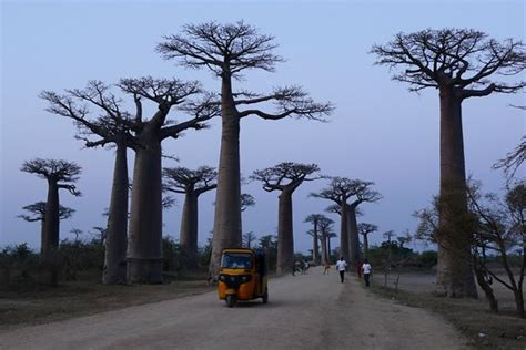 the fans avenue reviews avenue of the baobabs morondava madagascar top tips