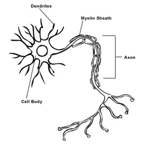 simple neuron diagram the trenches of discovery the human machine circuits and