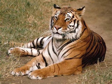 imagenes google tigres tigres de bengala historia ciencia aztecas mito