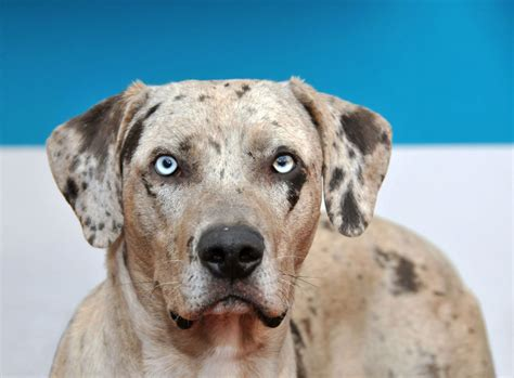 louisiana catahoula leopard louisiana catahoula leopard diary