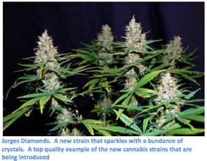 Cannabis plants supply the cannabis used by society s recreational