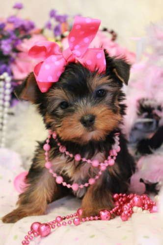 photos of teacup yorkies 17 best ideas about teacup yorkie on mini